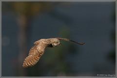 Burrowing Owl in Flight 3805 (maguire33@verizon.net) Tags: bif bird birdofprey burrowingowl owl wildlife