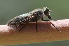 Interesting fly - genus Apatolestes, Tabanidae (Treebeard) Tags: deerfly apatolestes apatolesteshinei pangoniini pangoniinae tabanidae diptera whitesage salviaapiana lamiaceae sanmarcospass santabarbaracounty california