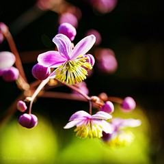Purple. #Summer #vacation #maine #acadia #nps #findyourpark #nationalpark #thuya #garden #neharbor #canon #realcamera #rebelxs #efs60mm #macro #flowers #Canon #EFS60mm #macro  #flower #flowersofinstagram (Kindle Girl) Tags: flowers summer vacation maine acadia nps findyourpark nationalpark thuya garden neharbor canon realcamera rebelxs efs60mm macro flower flowersofinstagram