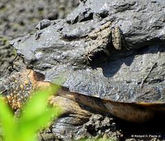 Common Snapping Turtle_4988_00001-001 (Henryr10) Tags: ellislake ellislakewetlands westchesteroh ohio usa chelydraserpentina chelydra serpentina commonsnappingturtle snappingturtle turtle