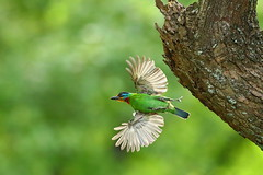 Taiwan barbet (jonus weng) Tags: 600mm 1dx2 eos canon taiwan barbet 五色鳥 育雛 花和尚 木瓜鳥 supershot