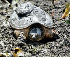 Common Snapping Turtle_4993_00001-001 (Henryr10) Tags: ellislake ellislakewetlands westchesteroh ohio usa chelydraserpentina chelydra serpentina commonsnappingturtle snappingturtle turtle