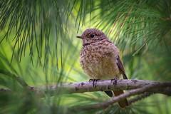 Молодая горихвостка (marussia1205) Tags: птица птичка птенец слеток горихвостка