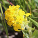 Yellow Puccoon
