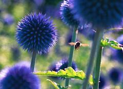 Summer Stillness (BigWhitePelican) Tags: finland bee flowers macro summer nature canoneos70d adobelightroom6 niktools 2019 july
