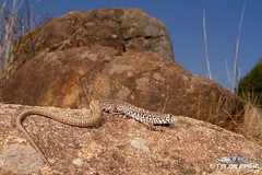 Nucras lalandii - Delalande's Sandveld Lizard (ping.tyrone) Tags: nucras lalandii delalandes sandveld lizard wwwtyronepingcoza tyrone ping canon 7d south africa southern nature natural midlands kwa zulu natal lizards herps herping kwazulu creature critter ngc photo photography wildlife wild natgeo