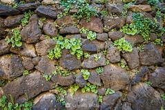 Barretets (SantiMB.Photos) Tags: 2blog 2tumblr 2ig santjoanlesfonts garrotxa girona invierno winter piedras stones umbilicusrupestris planta plant geo:lat=4221220260 geo:lon=250819240 geotagged cataluna españa