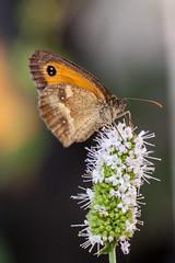 Menthe et Papillon (clamar18) Tags: butterffly flower insecte menthe marron jardin nature mérysurcher france vierzon amaryllis