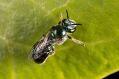 Green Metallic Bee (zosterops) Tags: australia queensland daintree macro insecta canoneos6d hymenoptera homalictus