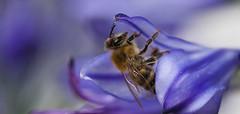 Bee in agapanthus (pe_ha45) Tags: bee biene abeille agapanthus flower blüte