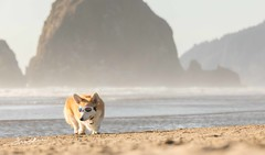 CB3A7571 (frankiecorgibutt) Tags: oregoncorgibeachday2019 corgi cannonbeach beach sigma sigma150160 doggles