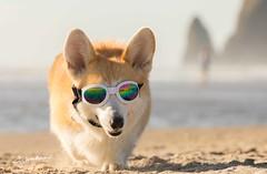 CB3A7553 (frankiecorgibutt) Tags: oregoncorgibeachday2019 corgi cannonbeach beach sigma sigma150160 doggles