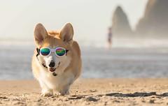 CB3A7549 (frankiecorgibutt) Tags: oregoncorgibeachday2019 corgi cannonbeach beach sigma sigma150160 doggles