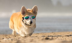 CB3A7575 (frankiecorgibutt) Tags: oregoncorgibeachday2019 corgi cannonbeach beach sigma sigma150160 doggles