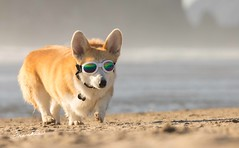 CB3A7574 (frankiecorgibutt) Tags: oregoncorgibeachday2019 corgi cannonbeach beach sigma sigma150160 doggles