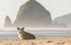 CB3A7568 (frankiecorgibutt) Tags: oregoncorgibeachday2019 corgi cannonbeach beach sigma sigma150160 doggles