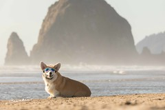 CB3A7564 (frankiecorgibutt) Tags: oregoncorgibeachday2019 corgi cannonbeach beach sigma sigma150160 doggles