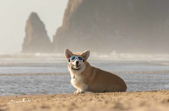 CB3A7563 (frankiecorgibutt) Tags: oregoncorgibeachday2019 corgi cannonbeach beach sigma sigma150160 doggles