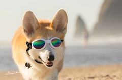 CB3A7554 (frankiecorgibutt) Tags: oregoncorgibeachday2019 corgi cannonbeach beach sigma sigma150160 doggles
