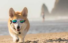 CB3A7551 (frankiecorgibutt) Tags: oregoncorgibeachday2019 corgi cannonbeach beach sigma sigma150160 doggles