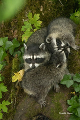 Raccoon family (lamoustique) Tags: raccoon commonraccoon northamericanraccoon ratonlaveur salmoncreek vancouver washington usa procyonlotor northernraccoon