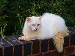 En Repose (Smiffy'37) Tags: cat portrait animal pose closeup