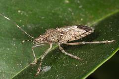 Big, antsy bug (zosterops) Tags: australia queensland cairns macro insecta canoneos6d hemiptera pentatomidae