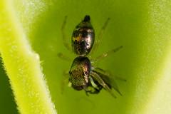 Metal sheened jumping spider (zosterops) Tags: australia queensland daintree macro insecta canoneos6d arachnida salticidae