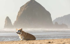 CB3A7569 (frankiecorgibutt) Tags: oregoncorgibeachday2019 corgi cannonbeach beach sigma sigma150160 doggles