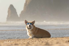 CB3A7561 (frankiecorgibutt) Tags: oregoncorgibeachday2019 corgi cannonbeach beach sigma sigma150160 doggles