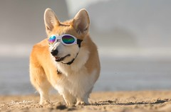 CB3A7578 (frankiecorgibutt) Tags: oregoncorgibeachday2019 corgi cannonbeach beach doggles