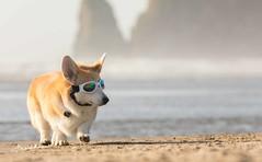 CB3A7572 (frankiecorgibutt) Tags: oregoncorgibeachday2019 corgi cannonbeach beach sigma sigma150160 doggles