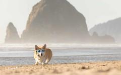 CB3A7570 (frankiecorgibutt) Tags: oregoncorgibeachday2019 corgi cannonbeach beach sigma sigma150160 doggles