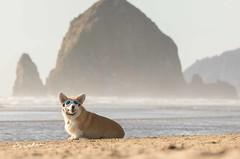 CB3A7567 (frankiecorgibutt) Tags: oregoncorgibeachday2019 corgi cannonbeach beach sigma sigma150160 doggles