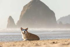 CB3A7566 (frankiecorgibutt) Tags: oregoncorgibeachday2019 corgi cannonbeach beach sigma sigma150160 doggles