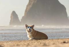CB3A7562 (frankiecorgibutt) Tags: oregoncorgibeachday2019 corgi cannonbeach beach sigma sigma150160 doggles