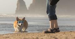 CB3A7559 (frankiecorgibutt) Tags: oregoncorgibeachday2019 corgi cannonbeach beach sigma sigma150160 doggles