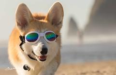 CB3A7555 (frankiecorgibutt) Tags: oregoncorgibeachday2019 corgi cannonbeach beach sigma sigma150160 doggles