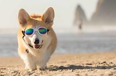 CB3A7552 (frankiecorgibutt) Tags: oregoncorgibeachday2019 corgi cannonbeach beach sigma sigma150160 doggles