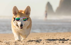 CB3A7550 (frankiecorgibutt) Tags: oregoncorgibeachday2019 corgi cannonbeach beach sigma sigma150160 doggles
