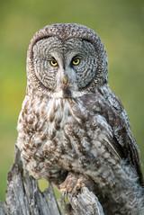DSC_4156 (chuek.chau) Tags: greatgrayowl owl bird rarebird wildlife animal prey portrait planet earth northwest bc kamloops canada nikon d850 500mmf4gvrii predator bif