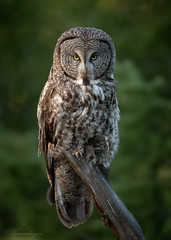 DSC_4134 (chuek.chau) Tags: greatgrayowl owl bird rarebird wildlife animal earth portrait prey planet kamloops northwest bc d850 canada nikon 500mmf4gvrii predator bif
