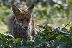 fox (madziulka_a) Tags: fox poland nikon d850 nikkor 200500mm wildlife nature photography lis
