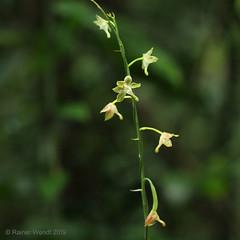 IMG_4827 Eulophia gracilis (Raiwen) Tags: africa westafrica guinea guinéeforestière lowlandrainforest asparagales orchidaceae orchidoideae flower inflorescence plant orchid eulophiagracilis eulophia