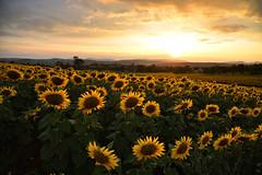 A la lumière du soleil couchant (Excalibur67) Tags: nikon d750 sigma globalvision art 24105f4dgoshsma paysage landscape ciel cloud sky nuages coucherdesoleil sunset sunflower tournesol girasole champs vosgesdunord alsace