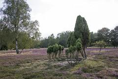 Blühende Heide - Flowering heathland (heinrich.hehl) Tags: landschaft natur flora bäume erika blüten herbst deutschland niedersachsen lönsheide germany autumn blossoms heather trees nature landscape