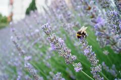 Lavendel mit Hummel (ws.ef) Tags: sommer summer lanvender lavendel hummel bumblebee urban city town garden gardening erfurt carlzeissjenaflektogon425mm f40 sonya7