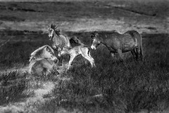 First time Standing (JRPics.) Tags: shadow spring foul england plants nature pony fisrtsteps horses hills newborn labour trees landscape heather exmoor standing threehorses outside equine outdoors givingbirth fauna shade uk gorse