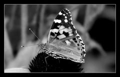 Motyl B&W. (andrzejskałuba) Tags: poland polska pieszyce dolnyśląsk silesia sudety europe plant plants roślina kwiat kwiaty flower flora floral flowers fauna ogród owad insect macro monochrome motyl beautiful biały black beauty bw blackwhite butterfly jeżówka echinacea garden natura nature natural natureshot natureworld nikoncoolpixb500 white lato summer szary grey 1000v40f 1500v60f