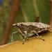 Brown Shield Bug Posing
